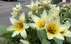 Close up of yellow flowers in street. Red car in background
