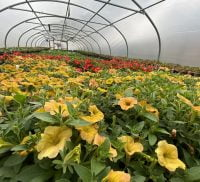 Yellow flowers and orange flowers in the background in a large polytunnel