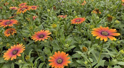 Mass of orange flowers.