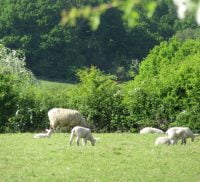 Sheep and lambs grazing in a field.
