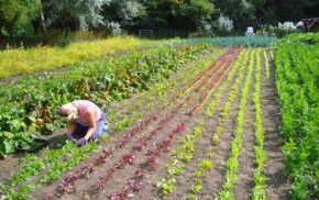 A lady gardening on a large vegetable plot on the Community Farm