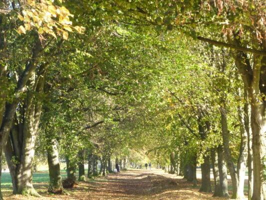 An avenue of trees in leaf in Farnham Park